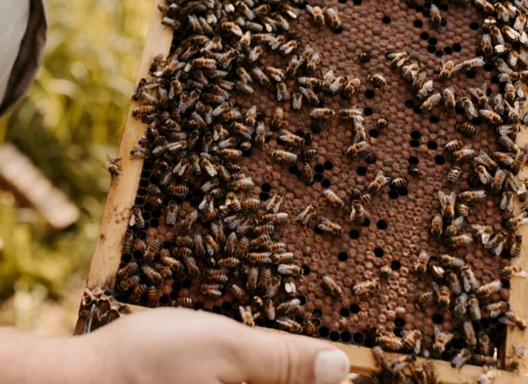Close-up of beehive frame filled with bees